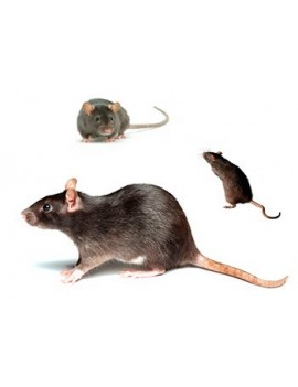 REMOVAL OF RATS AND RODENTS