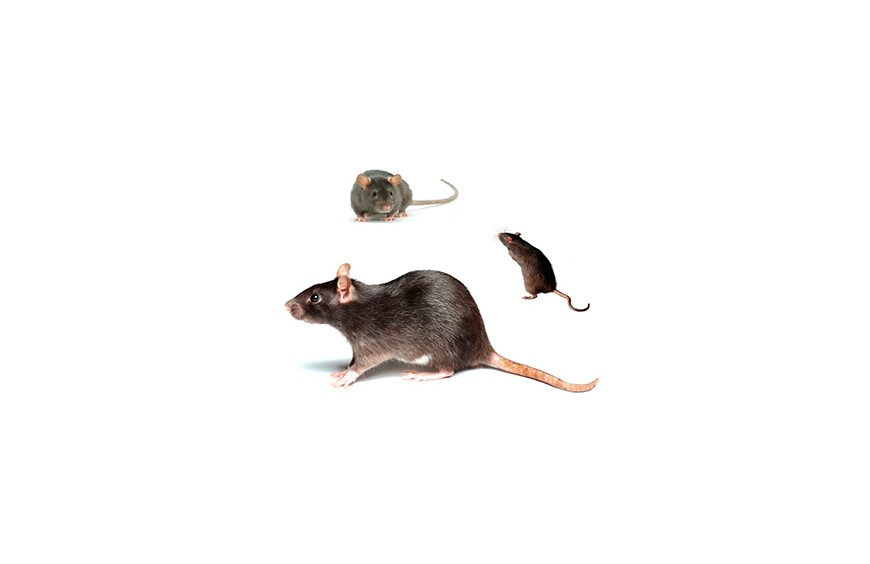 HOW TO ELIMINATE RATS AND MICE FROM MY HOUSE?